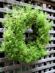 Gingie - a living wreath (stitchingbushwalker) Tags: opengardens gingie