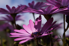 "2015_365083 - Osteospermum • <a style=""font-size:0.8em;"" href=""http://www.flickr.com/photos/84668659@N00/16927284742/"" target=""_blank"">View on Flickr</a>"