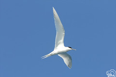 Charrn patinegro (Elas Gomis) Tags: birds aves alicante charran marsea patinegro eliasgomis sandvicencis sternastern