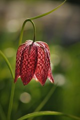 Snake'shead Fritillary (Fernowl) Tags: signsofspring