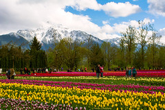 Tulips of the Valley Festival 2015 (SonjaPetersonPh♡tography) Tags: flowers canada tulips britishcolumbia ltd greenhouses nos tulipfestival 2015 tulipfields agassiz agassiztulipfestival tulipsofthevalleyfestival nikond5200 nosgreenhousesltd nikonafsdx18140mmf3556edvr tulipsofthevalleyfestival2015