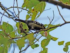 Indian Tit (Parus aplonotus) (Parus xanthogenys aplonotus) (Francisco Piedrahita) Tags: india birds aves munnar parusaplonotus parusxanthogenysaplonotus indiantit machlolophusxanthogenys
