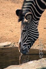 Grevy's Zebra II (MSR:GRT™©) Tags: animal zoo wildlife zebra artis equus grevys grevyi