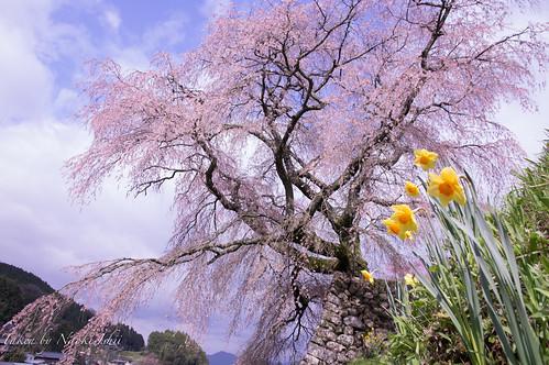 本郷の滝桜(又兵衛桜)