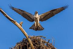 The Osprey (rjmerrill) Tags: statepark park fish bird virginia nikon state eagle hawk wildlife 300mm raptor dslr fx virginiabeach f4 osprey oceanfront d610 firstlandingstatepark lightroom5