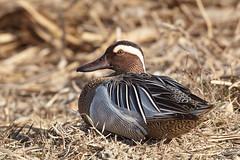 Knkente - Garganey - Anas querquedula (Andreas Gruber) Tags: bird nature animal duck wildlife natur ente tier vogel garganey anasquerquedula knkente andreasgruber