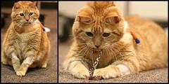 Apollo's fatty liver (Kerri Lee Smith) Tags: cats collage tabbies felines veterinarian apollo gingercats orangecats hepaticlipidosis fattyliverdisease carnegiecatclinic esophagealfeedingtube
