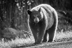 Roadside Bear (ii) (lkaldeway) Tags: road bear morning blackandwhite monochrome animal fauna fur outdoors photography one outdoor wildlife depthoffield flies snout
