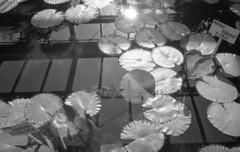 160429_CanonetGIII_010 (Matsui Hiroyuki) Tags: fujifilmneopan100acros canoncanonetgiiiql1740mmf17 epsongtx8203200dpi