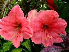 Hippeastrum (yewchan) Tags: flowers flower nature colors beautiful beauty closeup garden flora colours gardening vibrant blossoms amaryllis blooms lovely hippeastrum