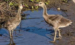 Rivalry (brev99) Tags: birds geese pair ngc siblings goslings togerther d7100 tamron70300vc highqualityanimals