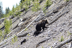 Grizzly sow and three tiny cubs-of-the-year. wet from crossing the Gibbon River (V. C. Wald) Tags: yellowstonenationalpark ursusarctos grizzlybear gibbonriver grizzlycub greateryellowstonegrizzlybear