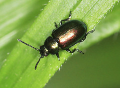 Leaf Beetle (5mm) (Prank F) Tags: macro nature closeup insect leaf wildlife beetle wildlifetrust glapthorncowpastures northantsuk