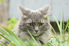 """This sure ain't the beach!"" (judecat (getting back to nature)) Tags: feline sally catinthegarden longhairedgreycat"
