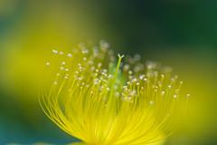 unbalanced heart (hitohira_) Tags: flowers flower nature bokeh