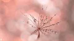 All your wishes at once (Trayc99) Tags: pink water droplets drops bokeh dandelion floralart beautyinnature beautyinmacro