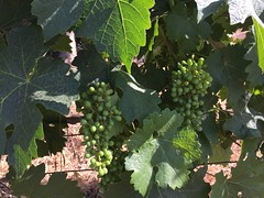 The new grapes (Oren Rosenfeld (oreng)) Tags: israel wine grapes organic agricultural cabernet middleast nataf orenrosenfeld rosenfeldwinery
