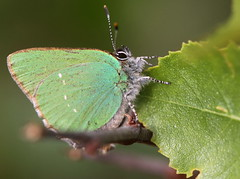 green hairstreak (bugman11) Tags: macro green nature animal animals fauna canon butterfly bug insect leaf nederland thenetherlands butterflies insects bugs autofocus greenhairstreak thegalaxy groentje 100mm28lmacro
