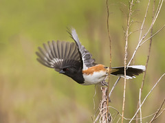 Eastern Towhee (Hockey.Lover) Tags: ohio birds easterntowhee kittytoddpreserve ohio216