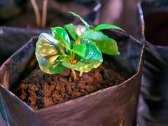P1140612 (lychee_vanilla) Tags: costarica heredia coffeetour cafbritt