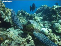 Turtle $(1) (NatePhotos) Tags: road sunset sea hawaii bay waterfall rainbow cows turtle maui hana jungle waterfalls kapalua rooster eel napili 2016 natephotos