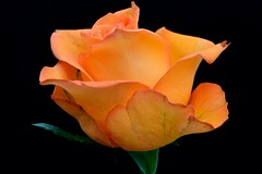 Colours (padge83) Tags: orange macro green rose nikon westyorkshire d5300