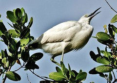 Little Blue Heron Youngster High In Tree (Susan Roehl) Tags: naplesbotanicalgardens 60acrewildlifereserve immaturelittleblueheron naplesfl usa sueroehl panasonic dmcgh4 100300mmlens handheld march2016 ngc