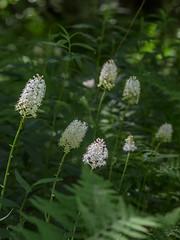 Amianthium muscaetoxicum (Fly poison) (jimf_29605) Tags: sigma northcarolina olympus wildflowers blueridgeparkway e5 105mm flypoison amianthiummuscaetoxicum olympus14xteleconverter
