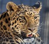 Yanna Close-Up (greekgal.esm) Tags: california animal cat mammal feline sony leopard bigcat carnivore rosamond yanna kerncounty northchineseleopard thecathouse efbc exoticfelinebreedingcompound felineconservationcenter sal70300g a77m2 a77mii wildcatzoo