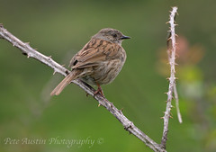 Dunnock (pedro2324) Tags: bird nature bay countryside feathers dunnock perch creature moorland plumage herby bovisand