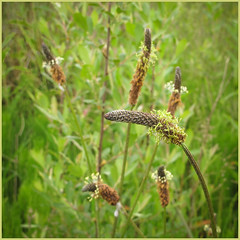 IMG_2679-1 - Plantain (dangle earrings) Tags: plantain yorkshirewildlifetrust dangleearings canonpowershotg12 staveleyreserve