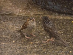 Feeding time in the Wind & Rain10 (Gareth Lovering Photography 3,000,594 views.) Tags: birds garden feeding wildlife feeder starling olympus sparrow 75300mm lovering em1 garethloveringphotography