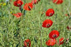L'clat phmre de l't (Excalibur67) Tags: flowers red nature fleurs landscape rouge nikon poppies tamron paysages coquelicots pavots d7100 sp70300divcusd