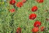 L'éclat éphémère de l'été (Excalibur67) Tags: flowers red nature fleurs landscape rouge nikon poppies tamron paysages coquelicots pavots d7100 sp70300divcusd