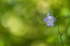 Campanule (Pito-pito) Tags: light flower macro nature fleur alpes nikon bokeh lumire depthoffield nikkor botanique alpesmaritimes campanule profondeurdechamp nikon105vr nikond750