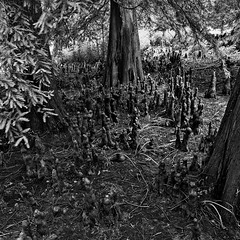 Knees on the Ground (David Guidas) Tags: trees ohio bw white black nature roots arboretum cypres