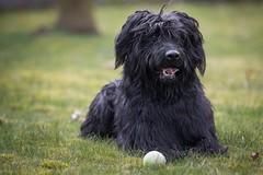 Hugo 2 (bhansen.kiel) Tags: portrait dog animal hund gras hugo chillen briard liegen