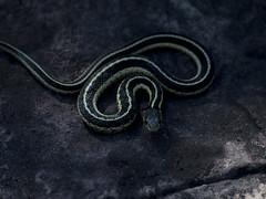 Garter Snake (ashockenberry) Tags: wild snake herp