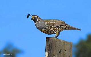 Male California Quail  2362