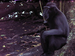 Celebes crested macaque in forest