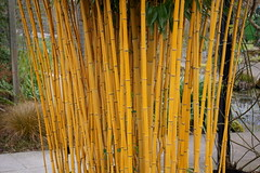 Bamboo, RHS Wisley