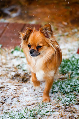 Jax Watching the Snow Fall (Nick Crowder) Tags: winter snow chihuahua ice dogs photoshop puppy lens puppies texas dof bokeh jackson february pomeranian jax lightroom sexysadie 2015 shichi mixbreed pomchi canon70200mm caninephotography canoneos5dmkii