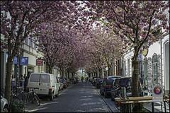 Bonn-Kirschbluete-23 (kurvenalbn) Tags: deutschland bonn pflanzen blumen nordrheinwestfalen frühling kirschbluete