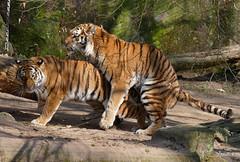 40-Katinka und Samur widmen sich auch der Familienplanung (TiGa-Nbg) Tags: und charlotte tiger polarbear vera tiergarten nrnberg katinka samur sibirischer