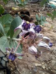 Calotropis Gigantea ดอกรัก