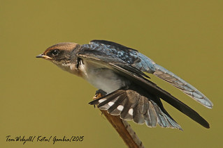 WIRE-TAILED SWALLOW / GAMBIA.
