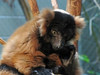 Red Ruffed Lemur (bookworm1225) Tags: zoo october minnesotazoo 2013 tropicstrail minnesotatrail