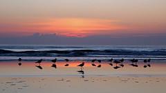 Dawn Preflight (Jim See) Tags: seagulls beach sunrise sand surf gulls daytonabeach daytona sunnyday sandybeach sunsrays beachscene floridasunrise preflight sunshinestate daytonabeachshores