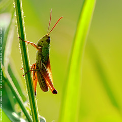 Grashpfer - Grasshopper - Cavalletta (andriani manrico) Tags: life macro nature animals closeup bug insect licht earth wildlife insects bugs grasshopper creatures creature luce lovenature gardener controluce backlighting gegenlicht photooftheday macrophotography naturelover cavalletta grashpfer   natureshooters