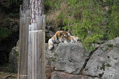 2014-08-17 (200) (CookiiEwe) Tags: park berg animals rock sweden stripes wildlife tiger watching relaxing sverige paws siberian vilar observing djur kolmrden djurpark sibirisk rnder tassar observerar